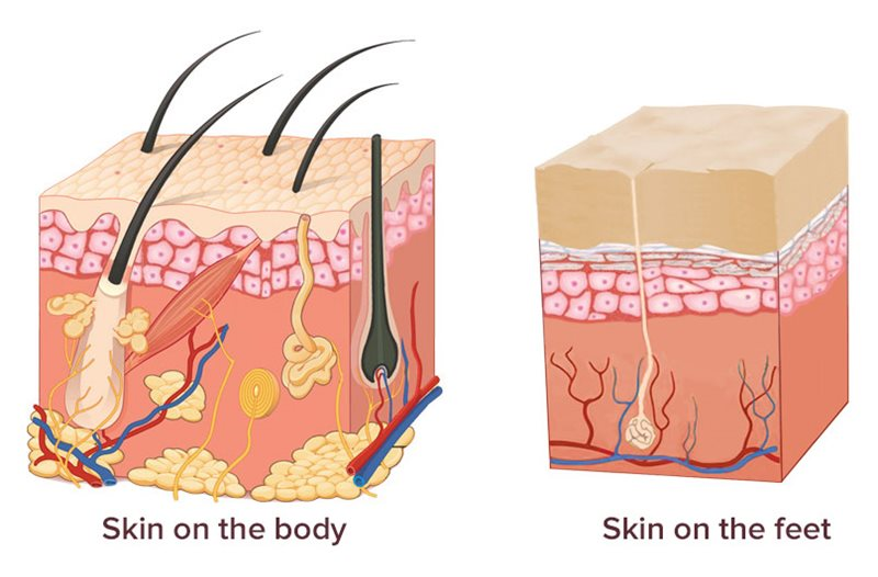 Illustration showing difference between skin on the feet and skin on the body
